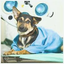 Caring for Your Pet Before and After Surgery